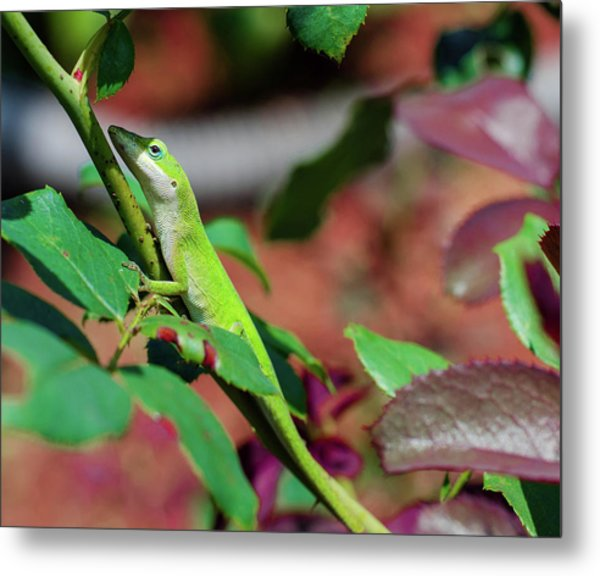 Native Anole Metal Print