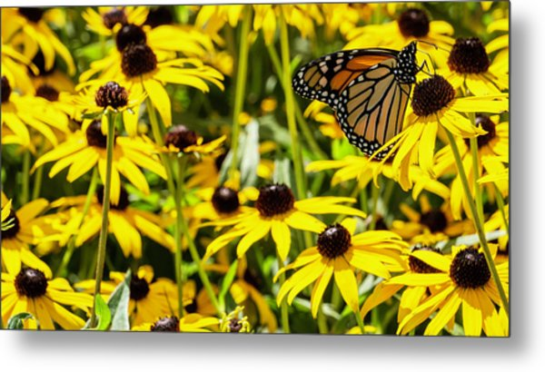 Monarch Butterfly On Yellow Flowers Metal Print