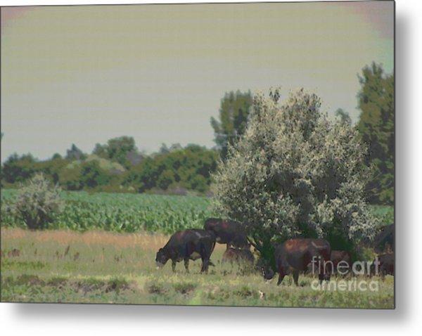 Nebraska Farm Life - Black Cows Grazing Metal Print
