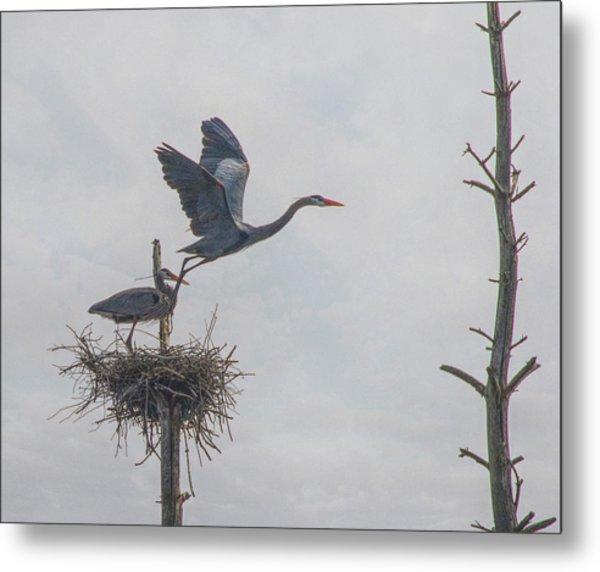 Nesting Great Blue Heron Metal Print