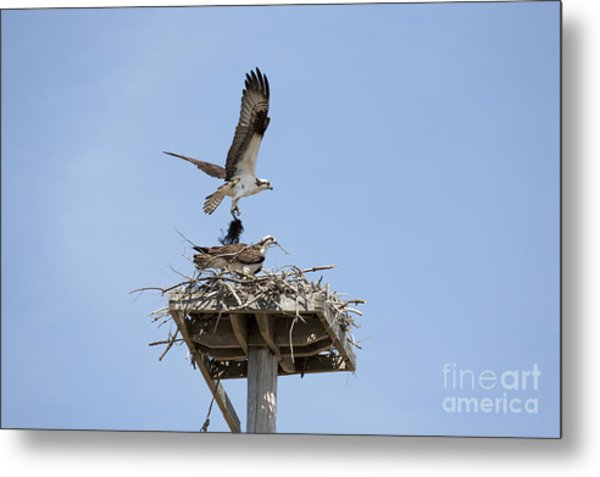 Nesting Osprey In New England Metal Print