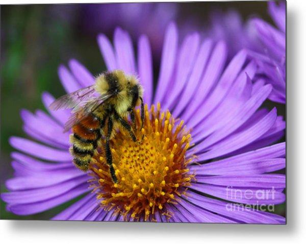 New England Aster And Bee Metal Print