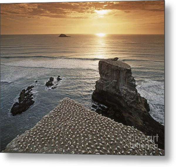 Metal Print featuring the photograph new zealand gannet colony at muriwai beach ,gannet fly from Muri by Juergen Held