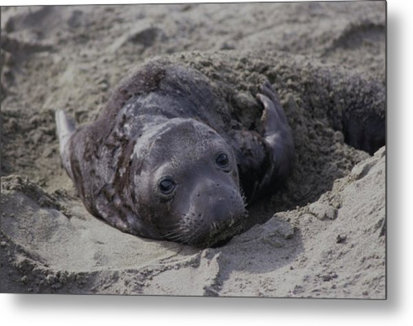 Newborn Northern Elephant Seal Pup Metal Print