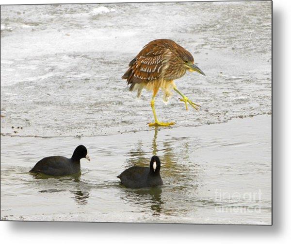 Night Heron With Coots Metal Print by Dennis Hammer