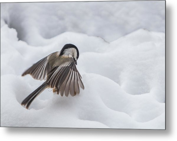 Metal Print featuring the photograph Chickadee - Wings At Work by Patti Deters