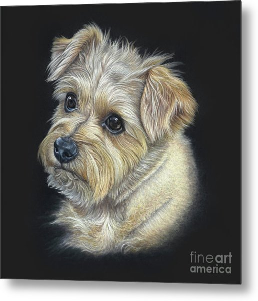 Metal Print featuring the drawing Norfolk Terrier 'hattie' by Donna Mulley