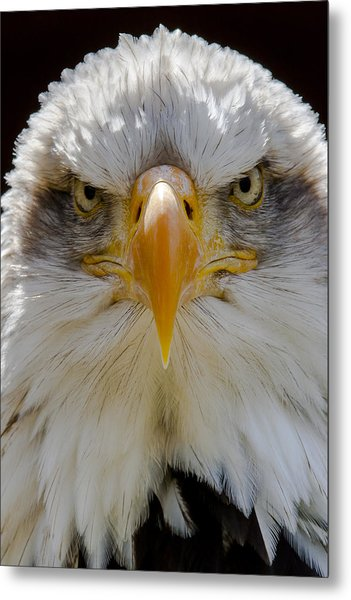 North American Bald Eagle  Metal Print