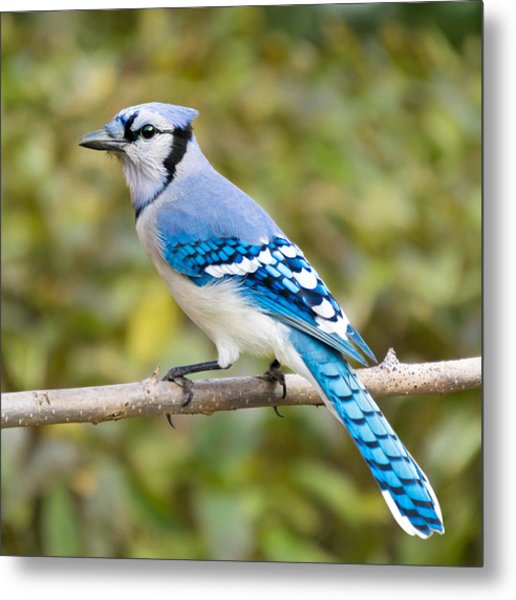 North American Blue Jay Metal Print