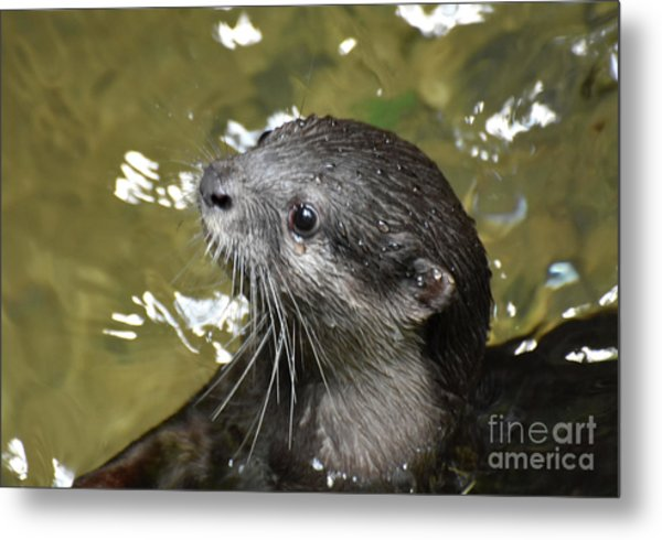 North American River Otter Swimming In A River Metal Print