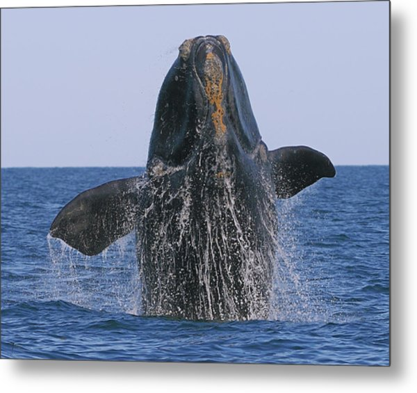 North Atlantic Right Whale Breaching Metal Print
