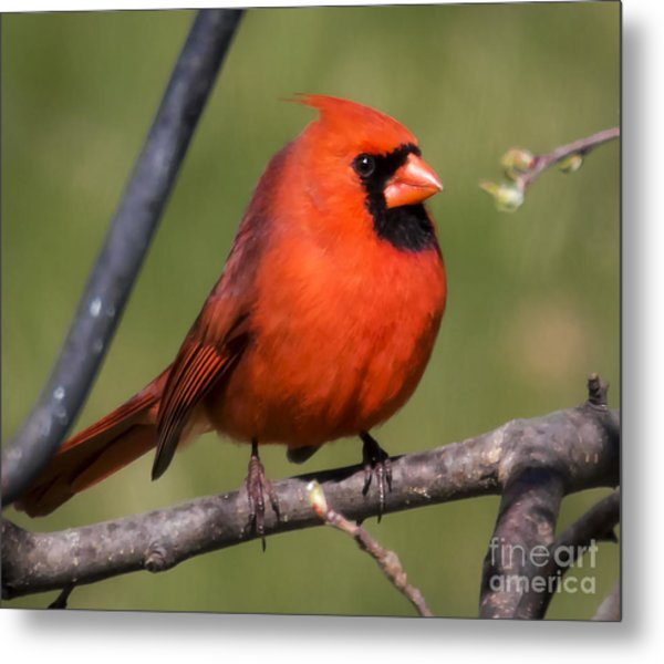 North Cardinal Metal Print by Ricky L Jones