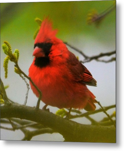 North Carolina Cardinal Metal Print
