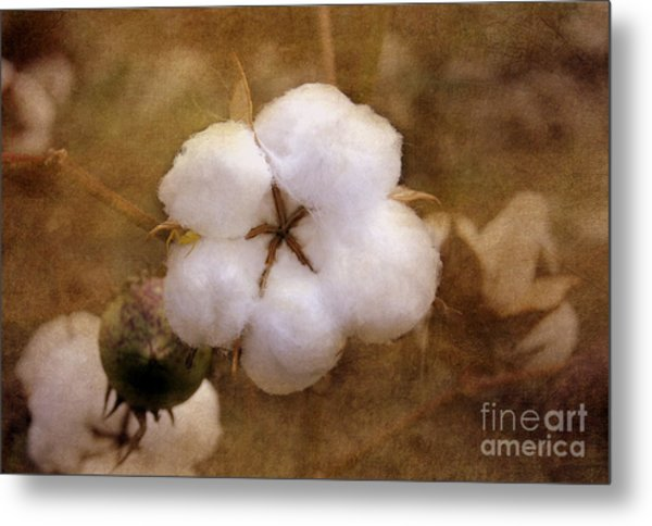 North Carolina Cotton Boll Metal Print