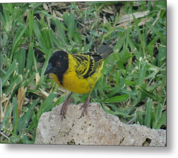 North - Eastern African Home - Close Up Yellow And Black Bird Metal Print