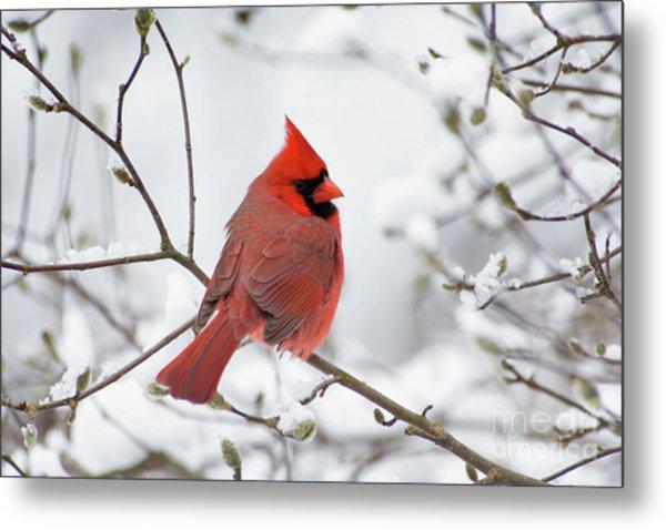 Northern Cardinal - D001540 Metal Print