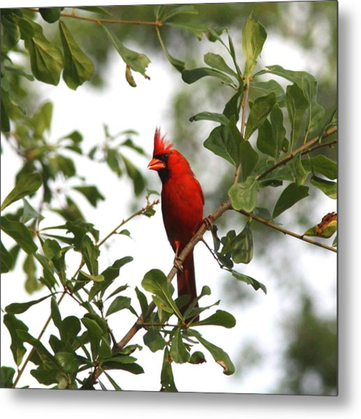 Northern Cardinal - In The Wind Metal Print