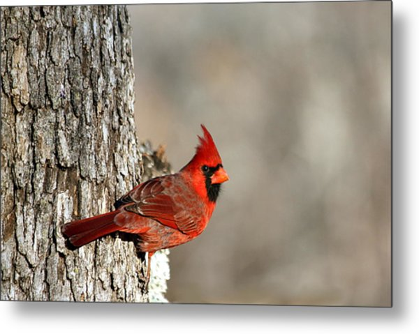 Northern Cardinal On Tree Metal Print