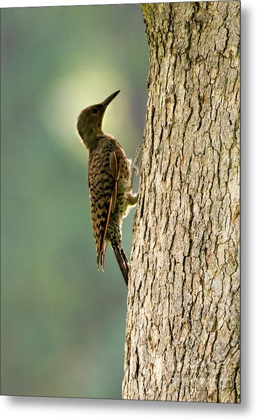 Northern Flicker Halo Metal Print