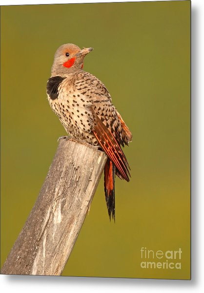 Northern Flicker Looking Back Metal Print