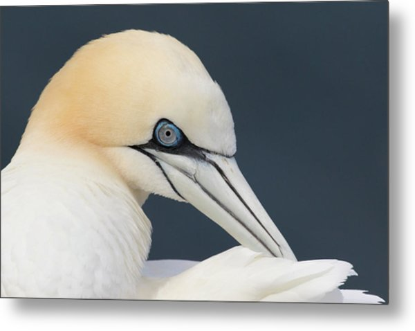 Northern Gannet At Troup Head - Scotland Metal Print