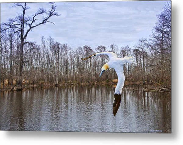 Northern Gannett In The Marsh  Metal Print by Bill Perry