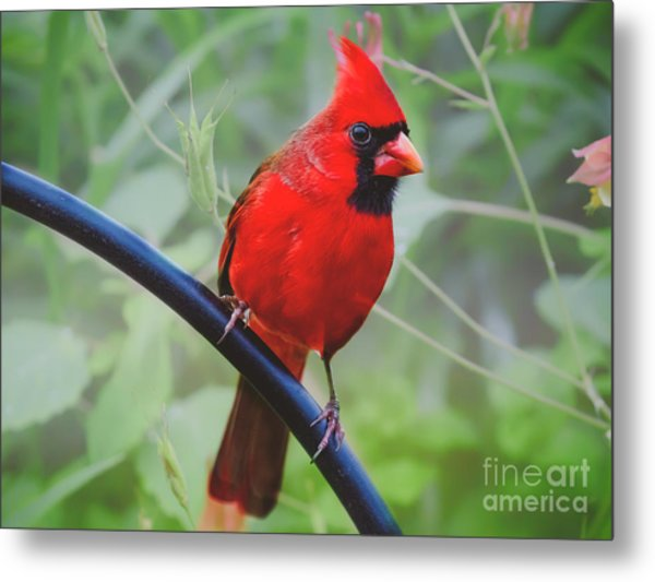 Northern Male Red Cardinal Bird Metal Print