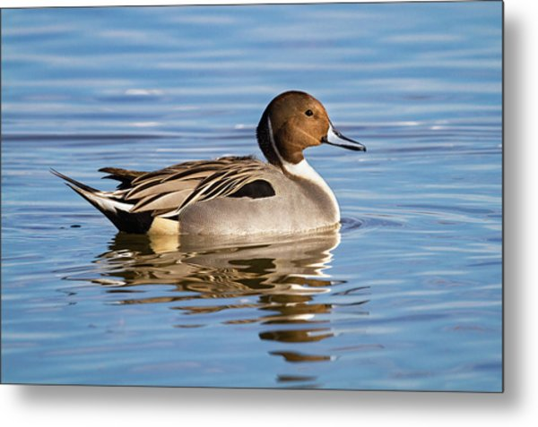 Northern Pintail Duck Metal Print