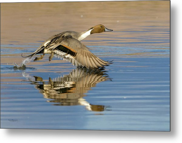 Northern Pintail With Reflection Metal Print