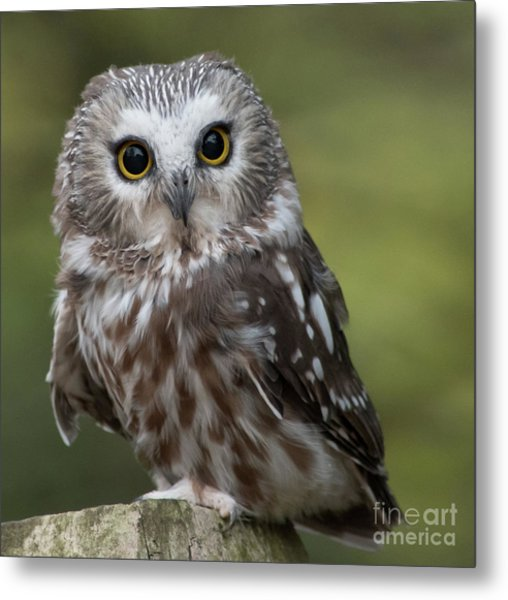 Northern Saw-whet Owl Metal Print by Rebecca Miller