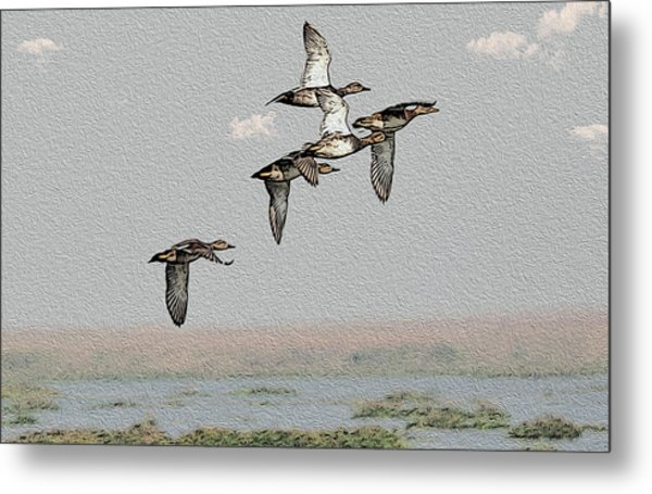 Northern Shoveler Metal Print