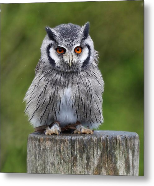 Northern White Faced Owl Metal Print