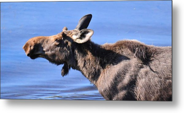 Nose First - Moose Metal Print