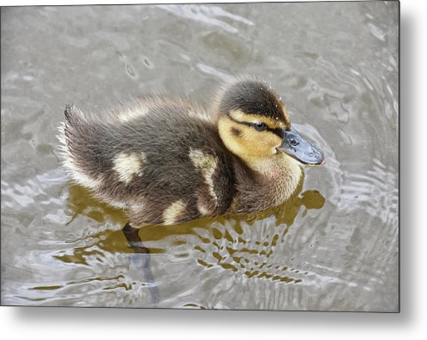 Not So Ugly Duckling Metal Print