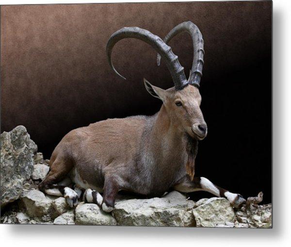 Nubian Ibex Portrait Metal Print