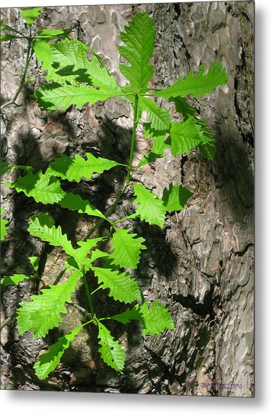 Oak Sprouts Metal Print