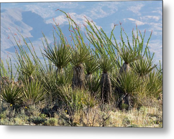 Ocotillo And Yucca Plants by Mike Cavaroc