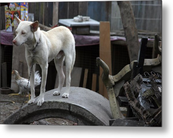 Oi Chicken I Can See You Metal Print by Jez C Self