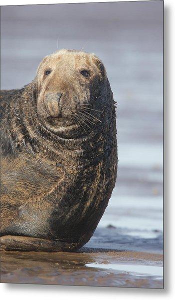 Old Atlantic Grey Seal On The Beach Metal Print