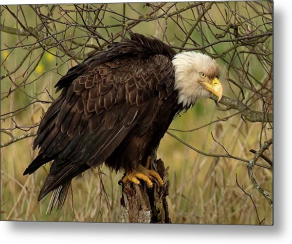 Old Eagle Metal Print