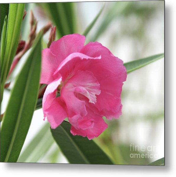 Oleander Splendens Giganteum 3 Metal Print