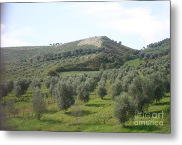 Olive Trees Metal Print by Dennis Curry