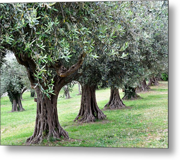 Olive Trees In Umbria Metal Print by Marion McCristall