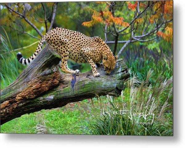 On The Prowl Metal Print by Keith Lovejoy