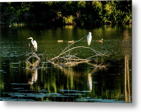 Metal Print featuring the photograph One Legged Egrets by Onyonet  Photo Studios