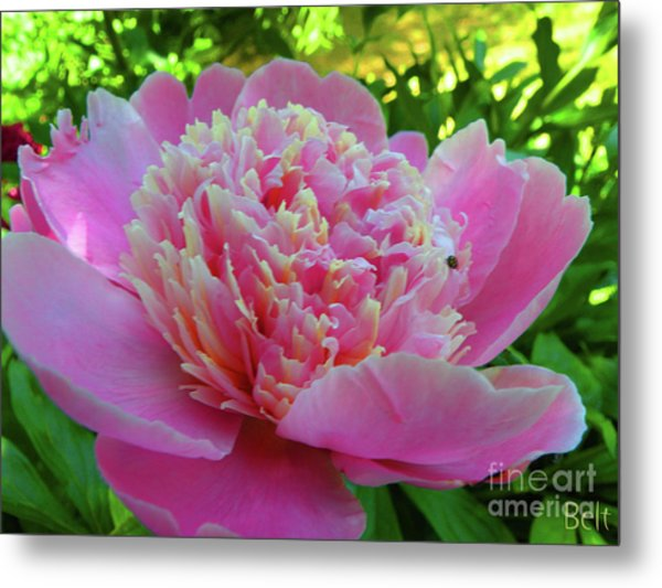 One Of The Peony Sisters Of Nebraska City  Metal Print by Christine Belt