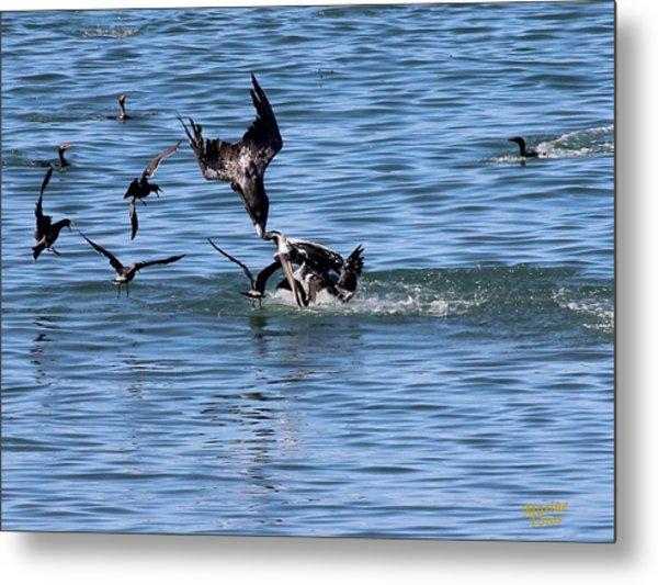 One Pelican Diving  Metal Print