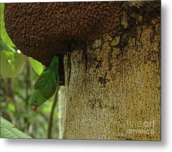 Orange -chinned Parakeet  On A Termite Mound Metal Print