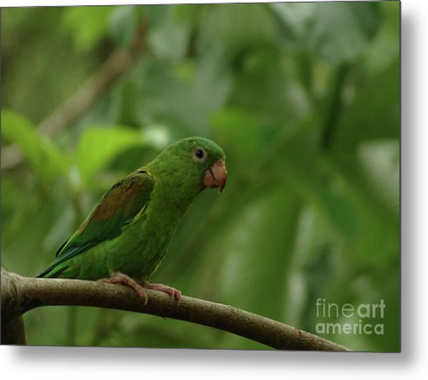 Orange-chinned Parakeet  Metal Print