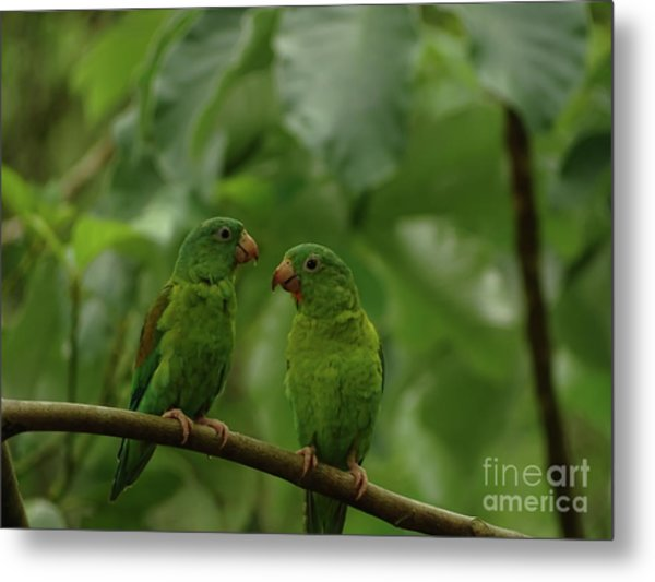 Orange-chinned Parakeets-  Metal Print